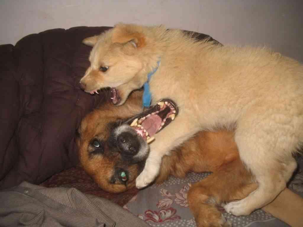 Peleas entre perros 3