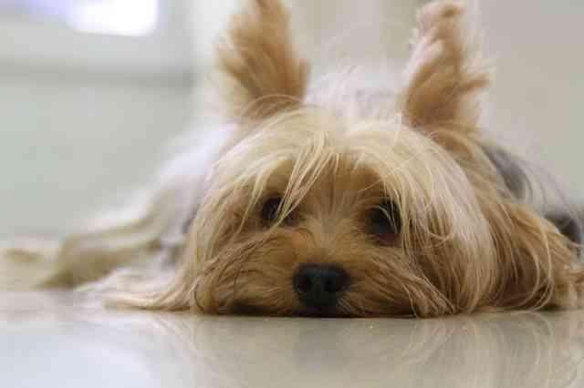 Razas de perros más comunes en España 5
