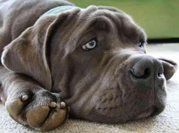 Vómitos en los perros 1