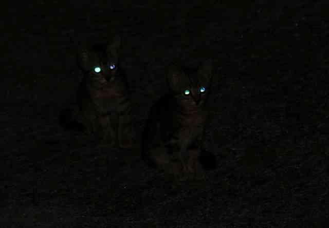 Los gatos no pueden ver en la oscuridad pero si en la penumbra
