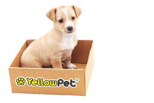 the yellow pet