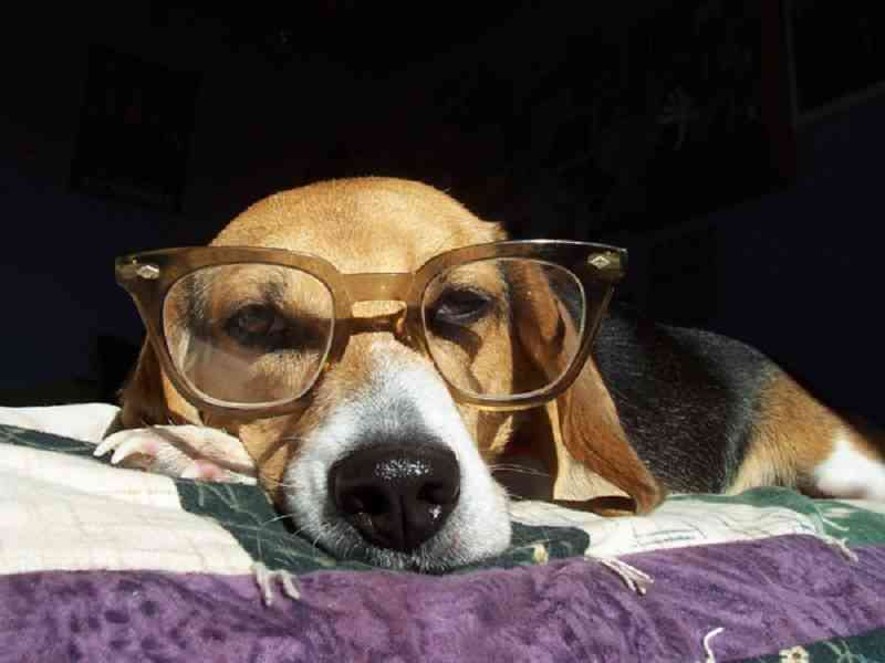 adiestramiento para beagles