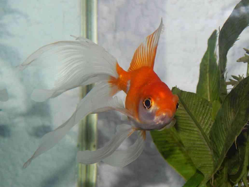 enfermedades del goldfish