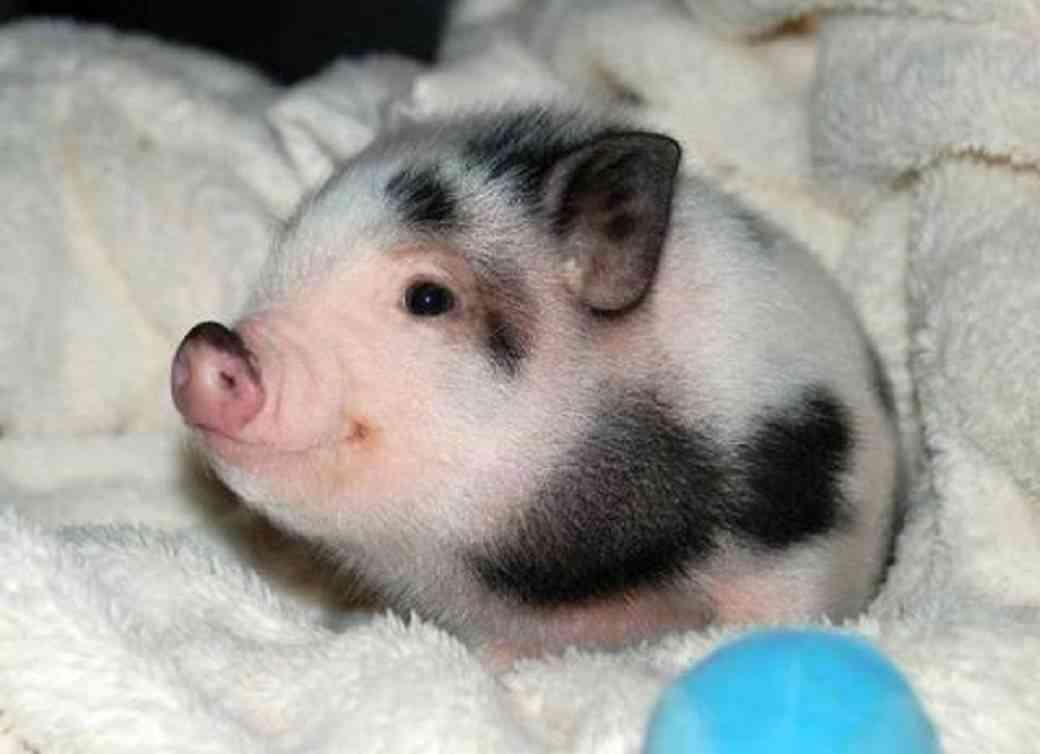 cuidados básicos de un cerdo vietnamita