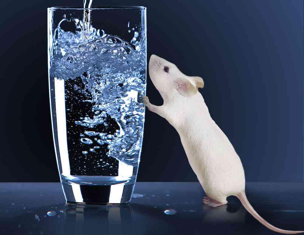 cuidar a un roedor