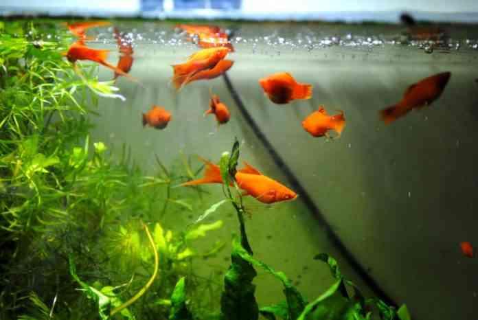 peces dentro de un acuario