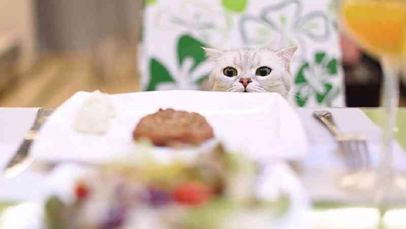 Homemade cat food