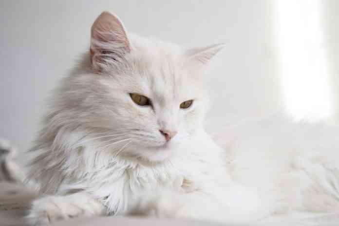El pelaje de los gatos