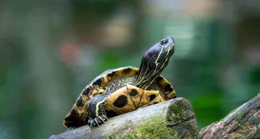 Curiosities of the turtles
