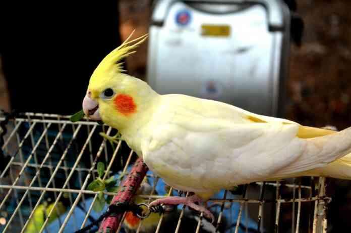 mascota aves