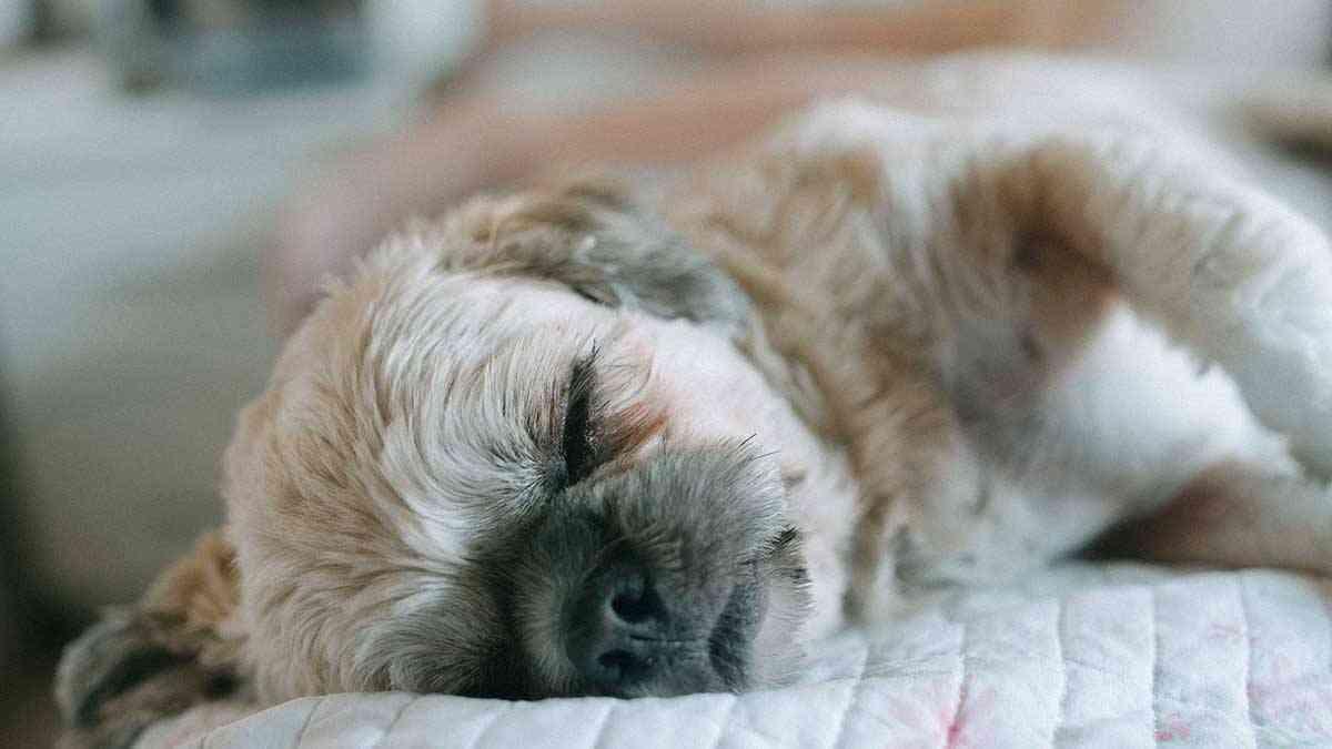 hipoactividad en perros