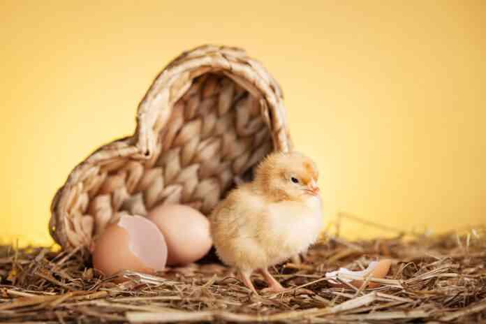 incubacion huevos