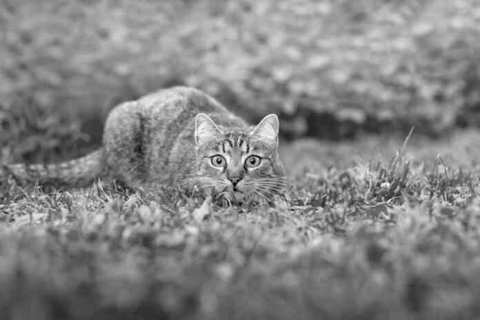 gato carnivoro estricto